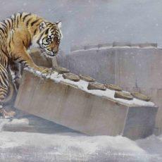 GLACIAL, tigre